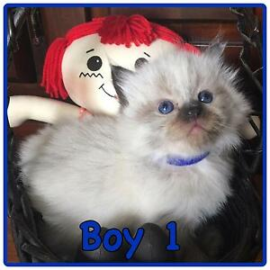 Purebred Ragdoll Kittens Stockleigh Logan Area Preview
