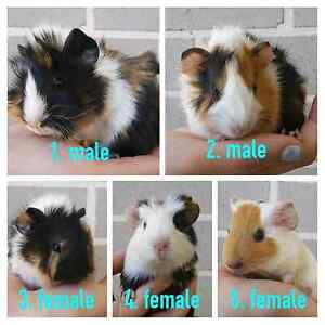 Male & Female Abyssinian Guinea Pigs for sale Kellyville Ridge Blacktown Area Preview