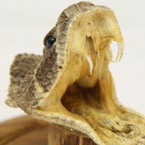 Taxidermy Western Diamondback Rattlesnake Head 3 Fangs Tail Rattle Glass Display
