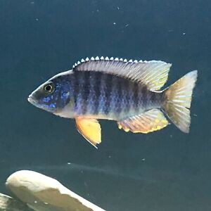 9 African Peacock Cichlids ***NEED GONE***