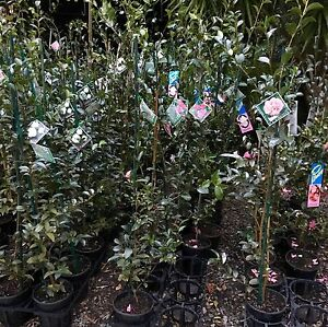 Camellia sasanqua shrub plants for perth trees Darch Wanneroo Area Preview