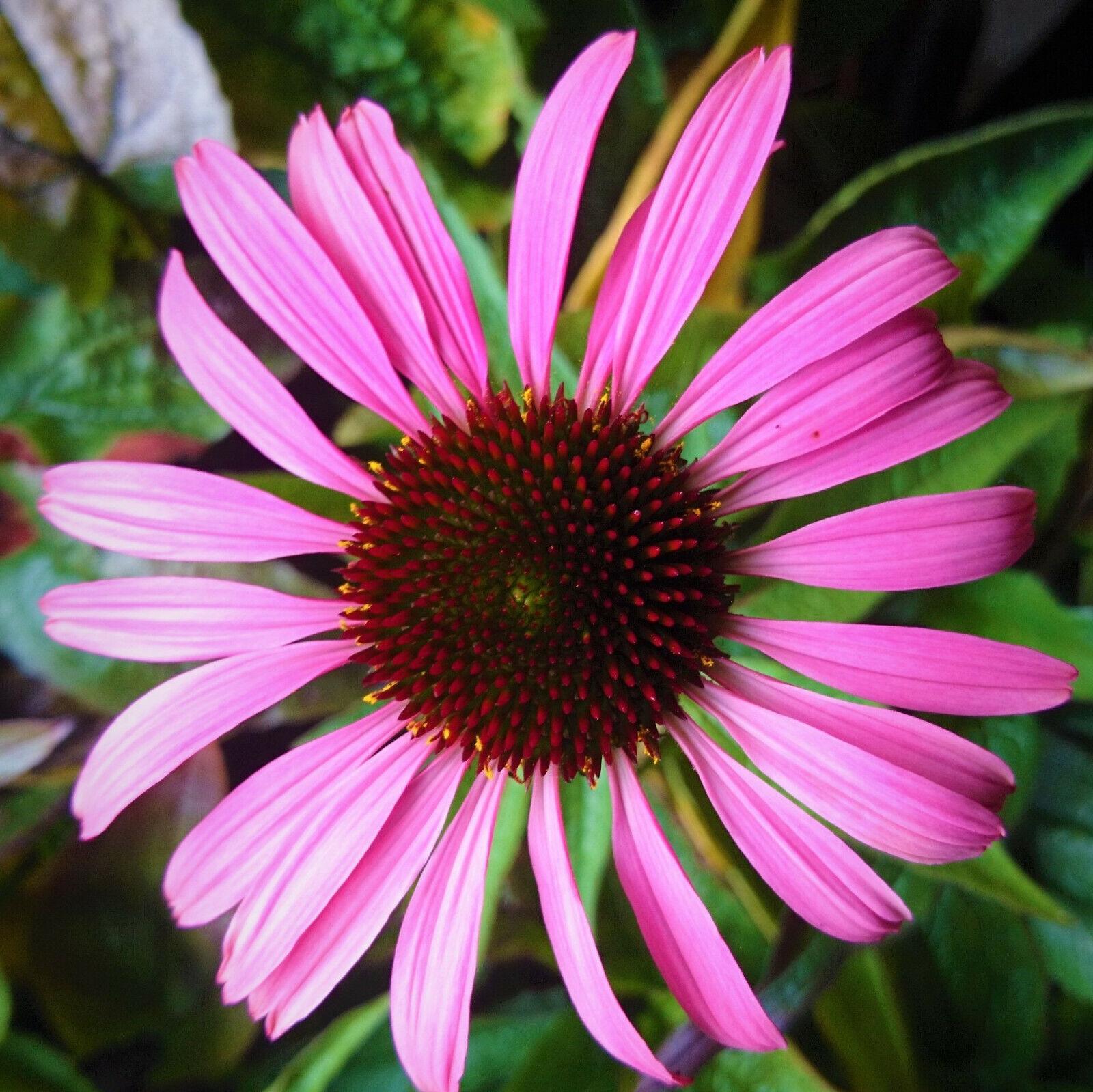 Sonnenhut Purpurrot Echinacea Magnus Bienenstaude Bienenfreundlich