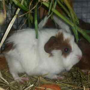 Guinea pigs 6-12 week old male and female cavies for sale Runcorn Brisbane South West Preview