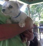"Adult Male Dog - Maltese-Pomeranian: ""Petey"""