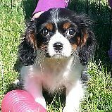 Beautiful King Charles spaniel pup only one left