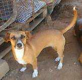 """Adult Female Dog - Jack Russell Terrier-Mixed Breed: """"Joy"""""""