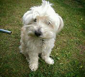 Bichon cross needs a loving home