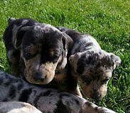 ONLY 1 GORGEOUS CATAHOULA BULLDOG MALE LEFT!!