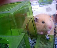 Hamster with Cage and Bedding- Free to Loving Home