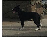 Borador for sale. Gorgeous pup