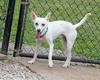 "Young Male Dog - Rat Terrier: ""Ollie"""