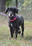 **Sweet India - SPANIEL cross is available for adoption****