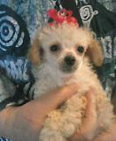 Lovely Poodle and Poodle Cross Puppies Ready Soon for New Homes