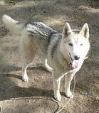 Husky sibérien (femelle pure race) cherche nouvelle famille!