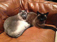 Two Simanese Cats for Sale
