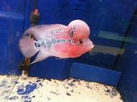 "3""-6"" Flowerhorn, Discus Cichlid Pleco Arowana Japanese Koi Fish"