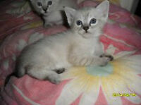 Upcoming litter - Siamese snowtigers and Snowshoes