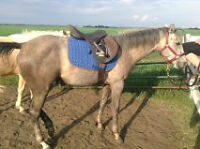 Trained 2 year old QH Filly