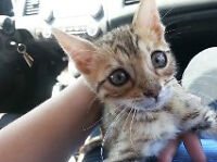 two adorable female bengal kittens for sale $600 obo sold indivi