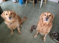 we are looking for a golden retriever