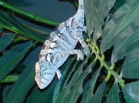 Chameleon Female for sale with complete setup.
