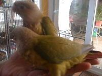tame pineapple conure we also sell new cages