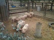 PIGLETS ready to go Glenorchy Glenorchy Area Preview