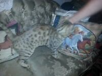 Reduced: Bengal male for sale