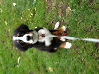 Reg'd Bernese Mountain Dog Puppies for Sale