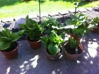 Hosta plants - St.Thomas