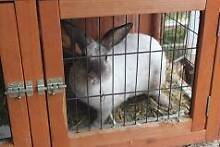 gorgeous white rabbit with cage Rainbow Flat Greater Taree Area Preview
