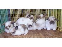 lop ear rabbits for sale
