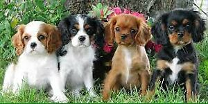 Looking for a Spaniel Puppy