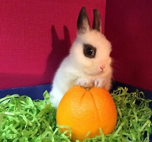 "❤ Baby Rabbit Netherland Dwarf's ""Charlie's ❤ Roseville Ku-ring-gai Area Preview"