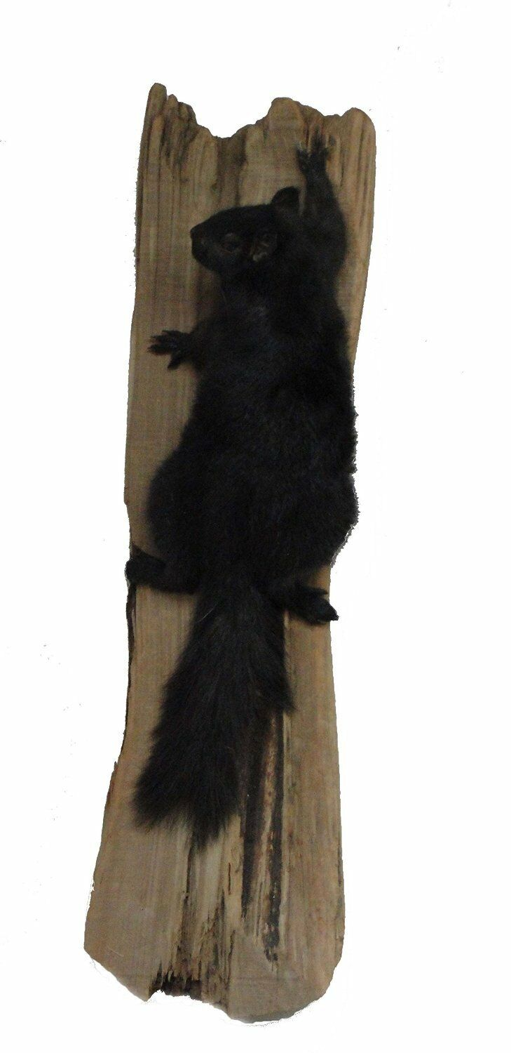 Black Squirrel on Drift Wood Taxidermy Animal Statue on Base Home or Office Gift