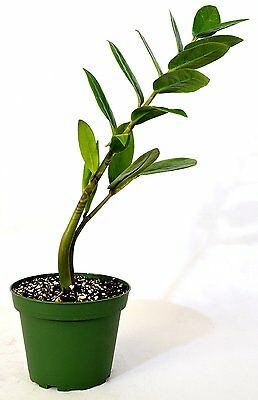 ZZ Plant - Zamioculcas Zamiifolia - 4'' Pot Gift Holiday Mature Hardy EverGreen
