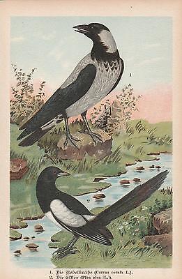 Elster Pica pica Aaskrähe Corvus corone Nebelkrähe Chromo-Lithographie von 1896