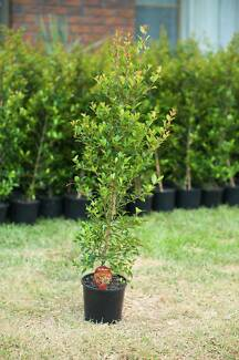 800mm Tall Resilience Lilly Pilly - Fast Screening Tree!
