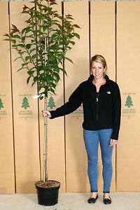 Cherry-Blossom-Tree-6-7ft-12-Litre-Pot-2yr-Prunus-Kanzan