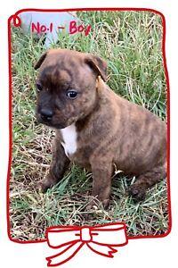 English Staffy Puppies ready by 14 Feb