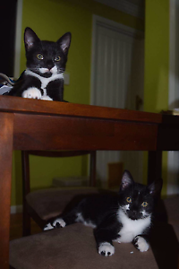 2 x Super Cute Rescue Kittens for Adoption Karalee Ipswich City Preview