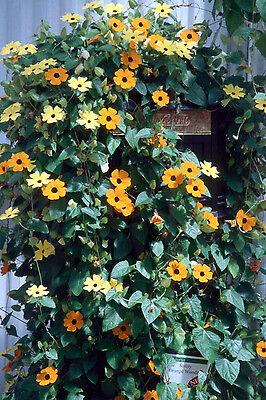 black-eyed susan vine, THUNBERGIA, 55 SEEDS! (Black Eyed Susan Vine)