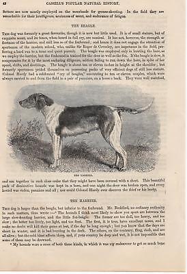 Harrier Jagdhunde Hunde Hunderasse HOLZSTICH von 1866