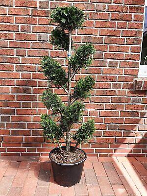 Leyland-Zypresse, Gartenbonsai (140-150 cm), Cupressocyparis leylandii + Dünger
