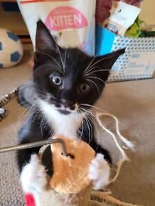 Pippin - Kitten for Adoption