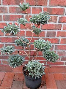 Blauer Gartenbonsai / PonPon, Höhe: 60-70 cm, Koniferen Formschnitt