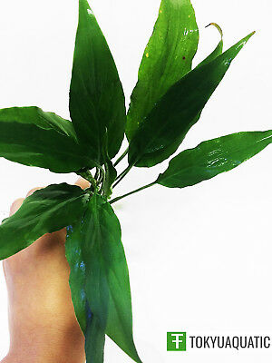Spathiphyllum Wallisii Peace Lily Freshwater Live Aquarium Plants Decorations (Peace Decorations)