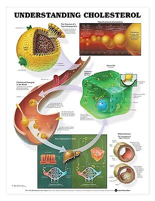 Understanding Cholesterol Anatomy Poster Anatomical Chart Company