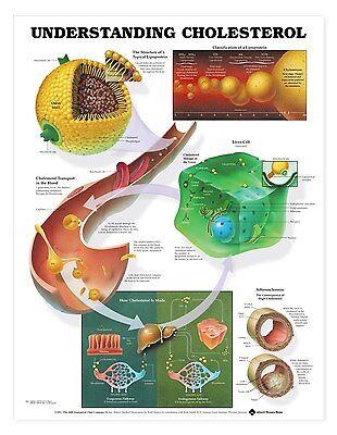 Understanding Cholesterol Anatomy Poster Anatomical Chart Company