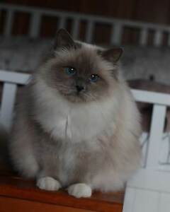 Retired Blue point Birman female looking for forever home Colac Colac-Otway Area Preview